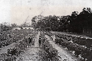 capehorn vineyard 1926-1