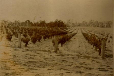 capehorn vineyard 1926-4